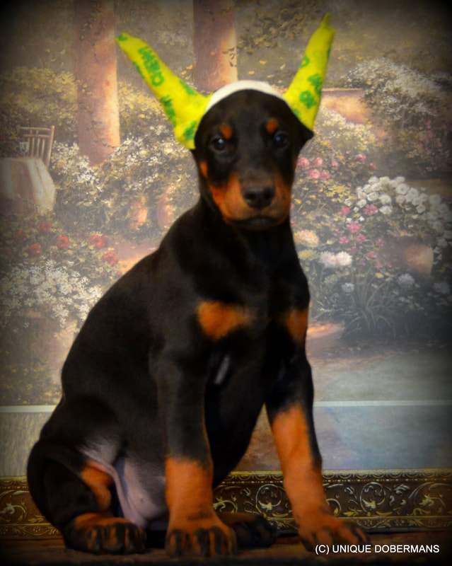 Picture of black and rust doberman puppies for sale