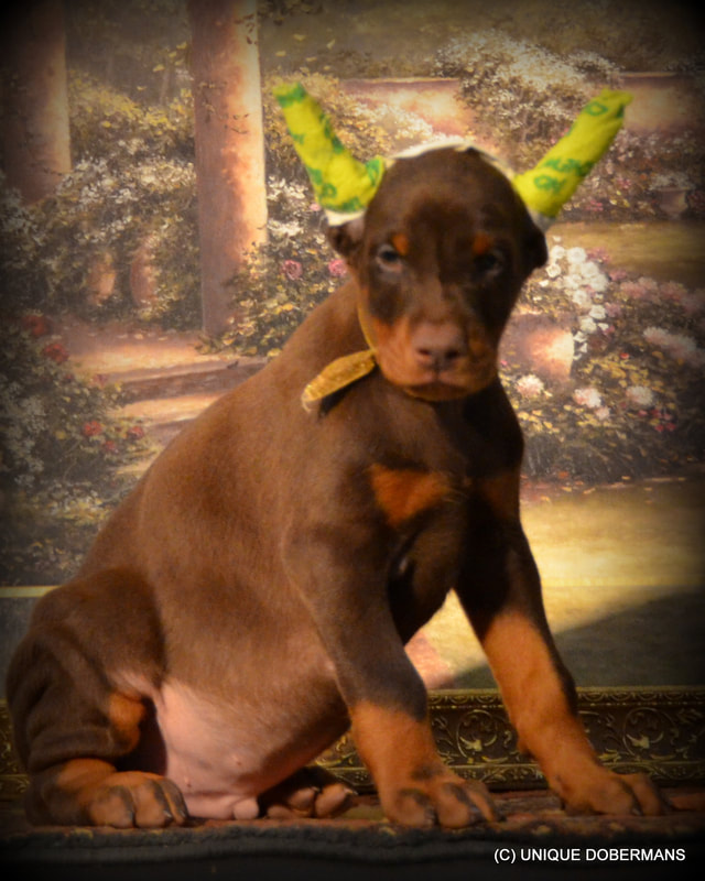 Picture of champion sired doberman pinschers for sale