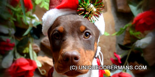 Picture of Doberman puppy for Christmas