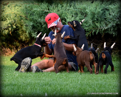 man playing with a litter of champion sired doberman puppies for sale