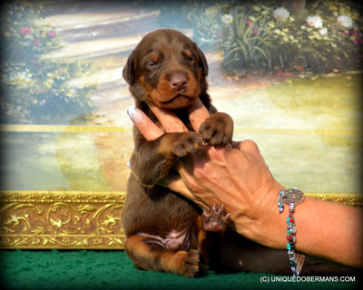 giant red and rust doberman pinshcer puppy for sale being held in ladies hands