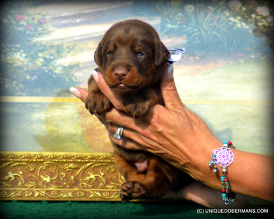 large boned red and rust doberman male puppy for sale