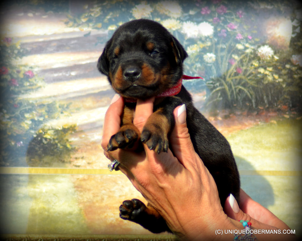 DOBERMAN PINSCHER PUPPIES FOR SALE - Unique Dobermans