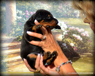 large boned black and rust doberman male puppy for sale