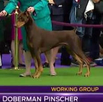 Picture of european male doberman vs american male doberman