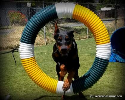 Picture of Doberman jumping thru hoops agility