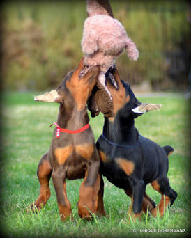 Picture of red dobermans for sale
