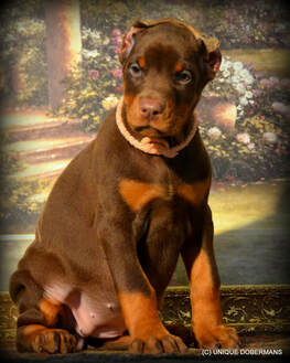 Picture or beautiful red and rust Doberman for sale