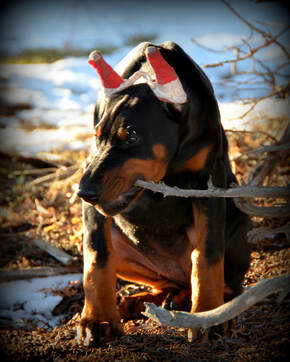 Picture of black and rust doberman pinscher puppy for sale